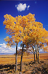 A cloud hovers above a cottonwood tree with golden leaves in autumn, Carson Valley, Nev...(Populus fremontii)