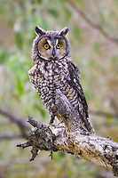 Long-eared Owl (asio otus) perched on the end of a branch near Denver, Colorado, USA
