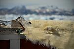 La expedición de Greenpeace en el Artico evidencias del cambio climatico en las proximidades de Tinitequilaq en , Groenlandia. Alejandro Sanz acompaña a la expedición. 19 Julio 2013. © Pedro ARMESTRE