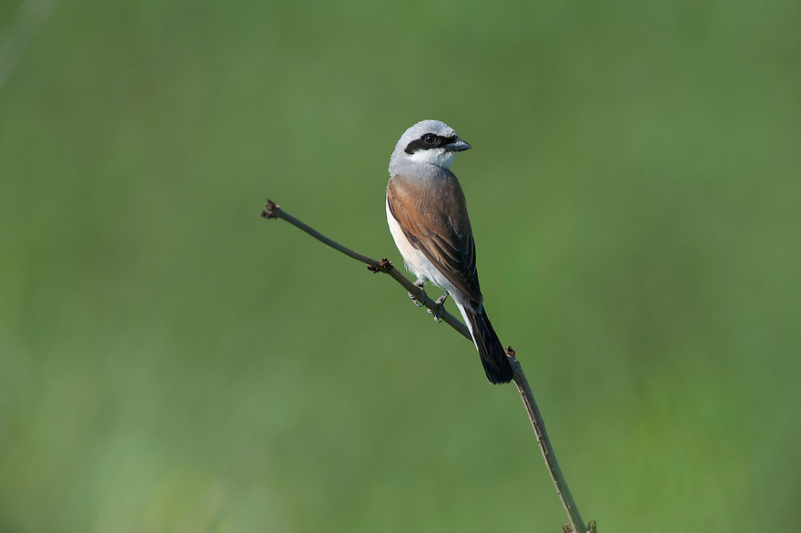 Red backed shrike (Lanius collurio), in Codrii National park, central Moldova