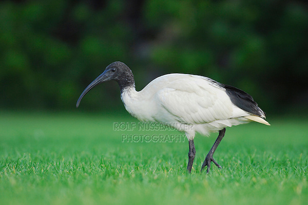 Straw-necked Ibis (Threskiornis spinicollis),adult walking, Australia