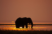 African Elephant (Loxodonta africana) feeding in Lake Kariba, Matusadona National Park, Zimbabwe.  Sunset.