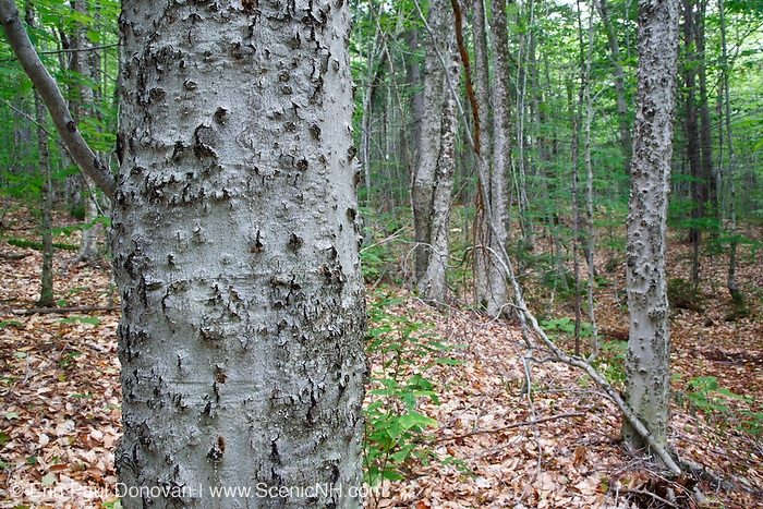 Beech bark disease on American beech tree (fagus grandifolia) near Potash Mountain in the White Mountains, New Hampshire USA.