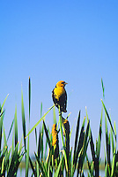 Male yellow-headed blackbird at Monte Vista National Wildlife Refuge, Colorado. Photographer: Keith Sutton