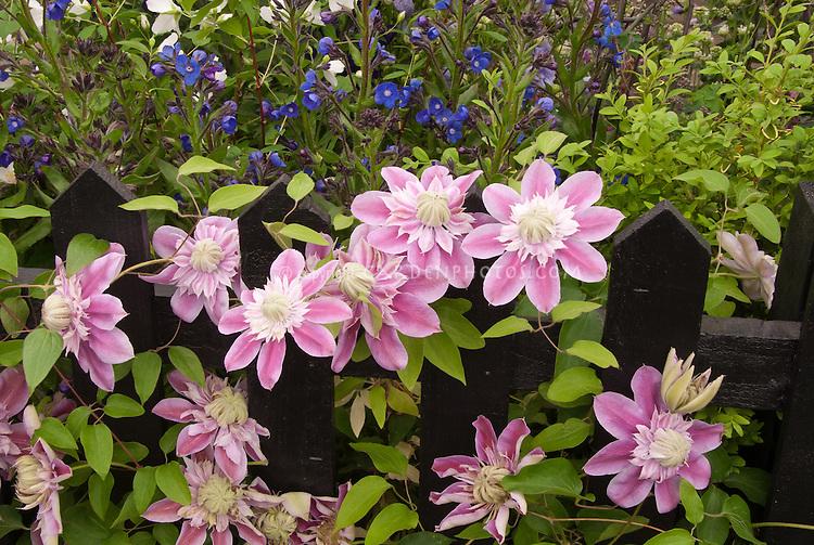 Lush Flower Garden With Clematis Josephine Vine, Double Center Pink,  Climbing On Black Picket