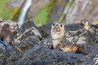 Antarctic fur seal, Arctocephalus gazella, pup with plastic banding around its neck - that plastic will choke to death eventually, Hercules Bay, South Georgia, South Atlantic Ocean