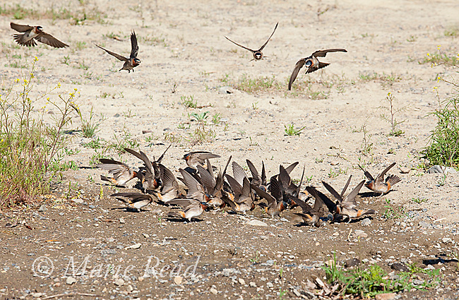 Cliff Swallows (Petrochelidon pyrrhonota) coming to muddy puddle to gather mud as nesting material, Mono Lake Basin, California, USA