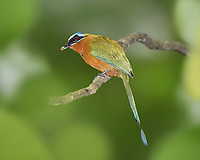 Trinidad Motmot - Momotus bahamensis