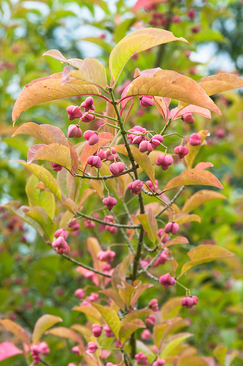Pink autumn fruits of Chinese spindle tree (Euonymus hamiltonianus 'Pink Delight'), early September.