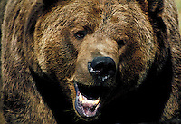 Closeup image of grizzly bear head with open mouth.