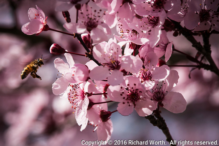 A bee approaches pink cherry blossoms at Redwood Regional Park in Oakland, California.
