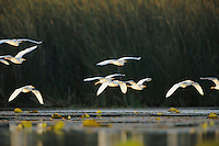 Cattle Egret (Bubulcus ibis), flock in flight, Fennessey Ranch, Refugio, Coastal Bend, Texas Coast, USA