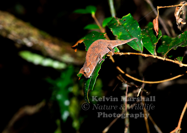 Brookesia is a genus of chameleons found in Madagascar, that range from small to very small in size, and are known collectively as leaf chameleons (though this name also commonly is used for species in the genera Rieppeleon and Rhampholeon). It includes the species considered to be the world's smallest chameleons, and are also among the smallest reptiles. They are largely brown and most are essentially terrestrial. A significant percentage of the species in the genus were only identified to science within the last three decades, and a number of species that still have not received a scientific name are known to exist. Most inhabit very small ranges in areas that are difficult to access, and due to their small size and secretive nature, they have been relatively poorly studied compared to their larger relatives.