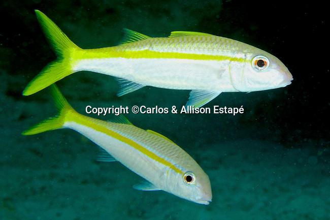 Mulloidichthys martinicus, Yellow goatfish, Florida Keys