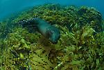 New Zealand fur seals in kelp.(Arctocephalus forsteri) .Albany, Western Australia