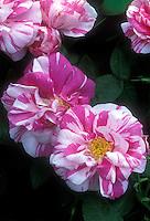 Rosa gallica 'Versicolor' aka 'Rosamundi' (Striped Apothecary Rose)