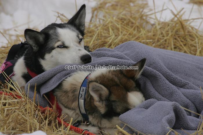 Robert Sorlies dogs rest at the half-way Iditarod checkpoint.  2005 Iditarod Trail Sled Dog Race.