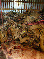 Tiger carcasses in cold storage at the Xiongsen Tiger and Bear Park in Guilin China. The park has farmed 1500 tigers and sells an illegal tiger bone wine to tourists that visit the park.