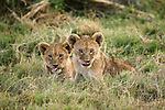 A pair of African Lion cubs lick their lips, Chobe National Park, Botswana.