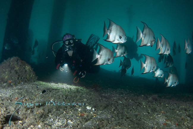 Brenda Hill at BHB  with the Spadefish, Atlantic Spadefish, Chaetodipterus faber
