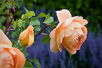English rose 'Pat Austin' orange flower in garden