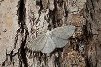 Braunstirn-Weißspanner, Cabera exanthemata, common wave, la Cabère pustulée, Spanner, Geometridae, looper, loopers, geometer moths, geometer moth