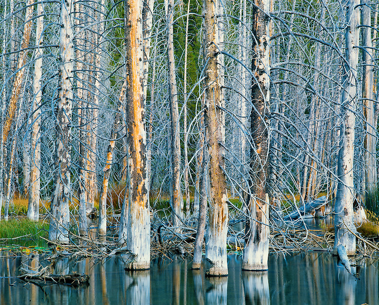 Lodgepole Pines (Pinus contorta), also Shore Pine, standing at the edge of Sotcher Lake. Devil's Postpile National Monument. Inyo National Forest, Madera County, CA.