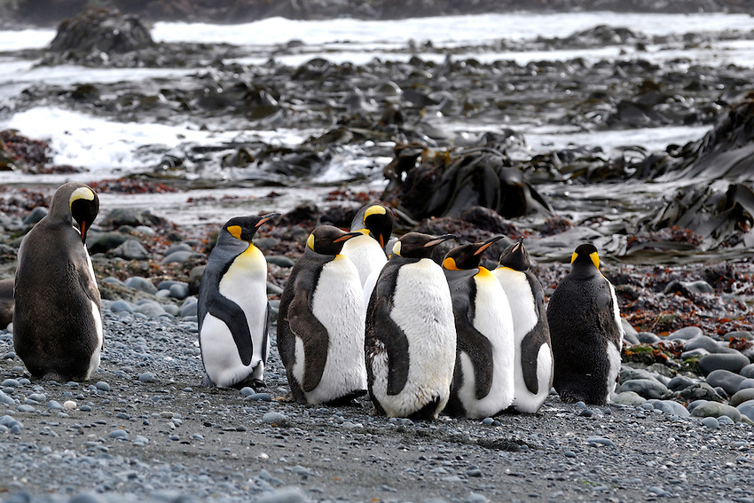 I'm to sexy with my fluff - King penguins molting on Macquarie Island