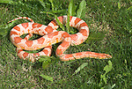 Corn or Rat Snake, Elaphe guttata, curled on grass basking in sun, USA .USA....