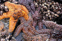 Ochre Stars and gooseneck barnacles<br /> Pisaster ochraceus<br /> in intertidal zone