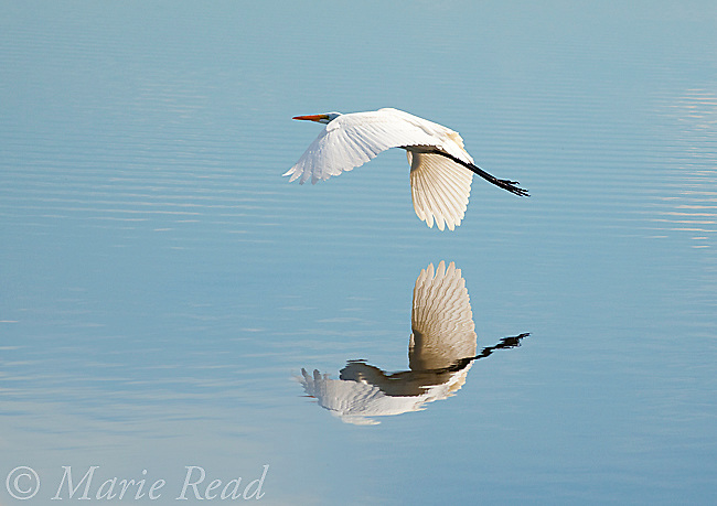 Great Egret (Ardea alba), in flight over water, Bolsa Chica Ecological Reserve, California, USA