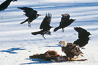 Bald Eagle (Haliaeetus leucocephalus) feeding on deer carcass while ravens look on.  Western U.S., winter.