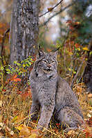 Lynx in autumn aspen forest. Rocky Mountains. North America. Felis lynx canadensis.