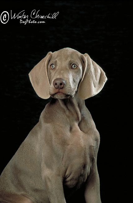 Weimaraner Shopping cart has 3 Tabs:<br />