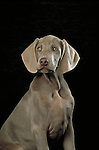 Weimaraner Shopping cart has 3 Tabs:<br /> <br /> 1) Rights-Managed downloads for Commercial Use<br /> <br /> 2) Print sizes from wallet to 20x30<br /> <br /> 3) Merchandise items like T-shirts and refrigerator magnets