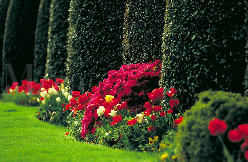 Sculpted hedge and garden of azalea and tulips. bulb, border, red, flower. Vancouver British Columbia Canada.