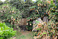 Large flowering Brugmansia spp, often mistakenly identified as Datura spp. Big Island, Hawaii