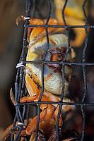 Iles Bahamas / New Providence et Paradise Island / Nassau: détail d'un étal au Marché de Potter's Cay sous le pont de Paradise Island - crabes de terre
