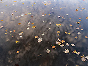 Autumn leafs floating in a New England pond
