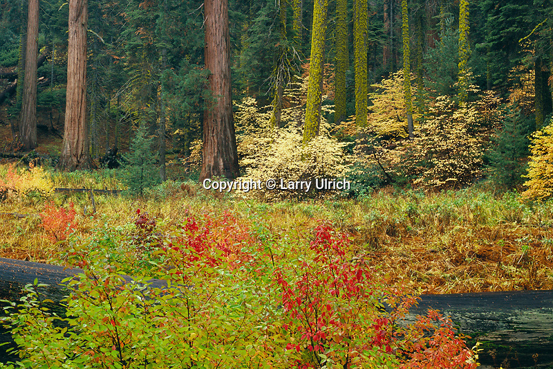 Creek dogwoods and giant sequoias<br />