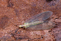 Florfliege, Grüne Florfliege, Goldauge, Chrysoperla carnea, common green lacewing, green lace-wing, Florfliegen, Goldaugen, Chrysopidae, Green lacewings, Green lace-wings