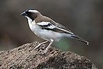 White Browed Sparrow Weaver, Plocepasser mahali, male, Ethiopia, perched on rock.Africa....