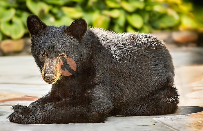 Black Bear Cub lying on patio