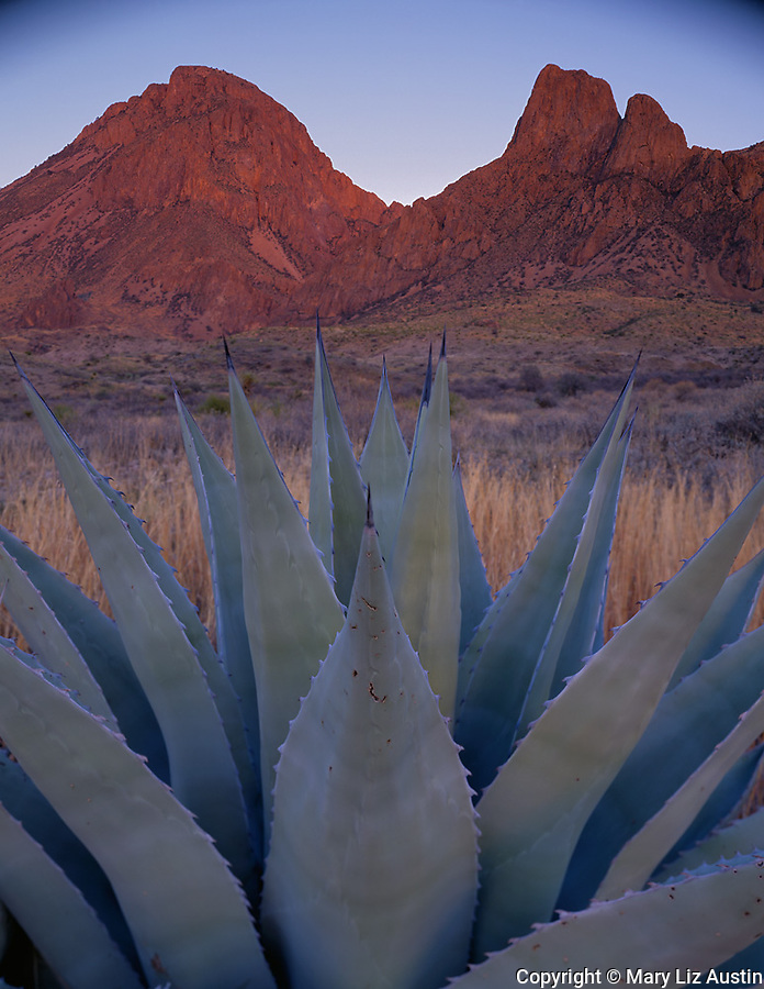Big Bend National Park, TX:  Agave and the Chisos Mountain Range at sunset