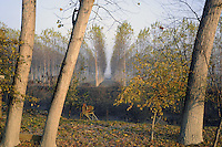 - Brescello (Reggio Emilia), pioppeti sull'argine del fiume Po<br /> <br /> - Brescello (Reggio Emilia), poplars on the bank of Po River