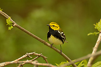 Male Black-throated Green Warbler (Setophaga virens).  Great Lakes Region.  May.