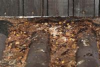Hornisse, tote Hornissen und deren tote Larven und deren Kotabsonderungen im Spätherbst unter einem Hornissen-Nest, Hornissennest, Vespa crabro, hornet, brown hornet, European hornet