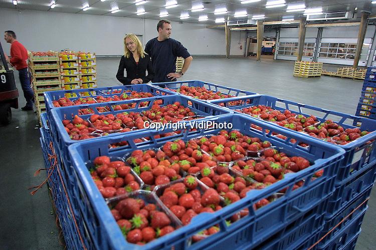 """Foto: VidiPhoto..OCHTEN - Fruitteler De Heus uit Eck en Wiel controleert zijn zojuist aangevoerde aardbeien op de veiling in Ochten (Fruitmasters). De aanvoer van fruit in Ochten daalt. Grotere fruittelers verkopen hun produkten steeds vaker direct aan handelaren, zonder tussenkomst van de veiling. Fruitmasters waarschuwt de telers voor deze """"kortzichtige"""" handelwijze. Ze lopen het risico tegen elkaar uitgespeeld te worden."""
