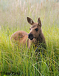 Moose calf in summer. Grand Teton National Park, Wyoming.