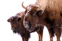 Buffalo in snow.